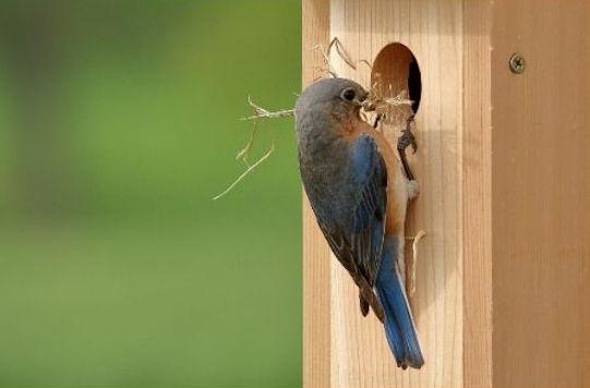 HOW TO ATTRACT NESTING BLUEBIRDS - GoBillyBird.com - your ...