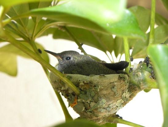How To Attract Nesting Hummingbirds Gobillybird Com Your Backyard Bird Feeding Expert,Ginnie Pig